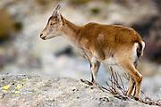 ES. Female Spanish ibex (Capra pyrenaica). Gredos mountain range, Spain.<br /> EN. Cabra mont&eacute;s (Capra pyrenaica) hembra.  Sierra de Gredos, Espa&ntilde;a.