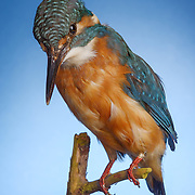 Studio product shot of a museum taxidermy kingfisher