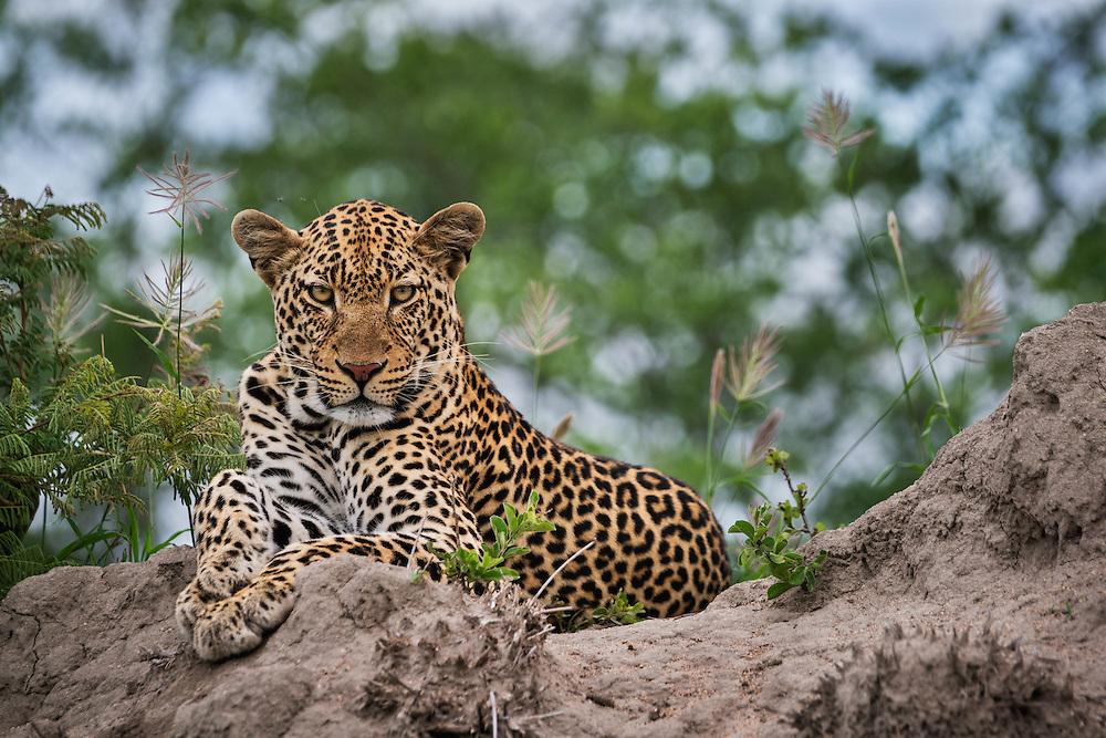 Male leopard, Mala Mala Game Reserve, South Africa / Leopardo, Reserva Mala Mala, Sudáfrica