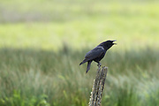 An American crow (Corvus brachyrhynchos) calls out from its perch on an old stump in the Edmonds Marsh, Edmonds, Washington.