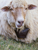 Domestic sheep (Ovis aries) with bell, resting on the ground, ruminating, half portrait. Mehedinti Plateau Geopark, Geoparcul Platoul Mehedinți, Romania.