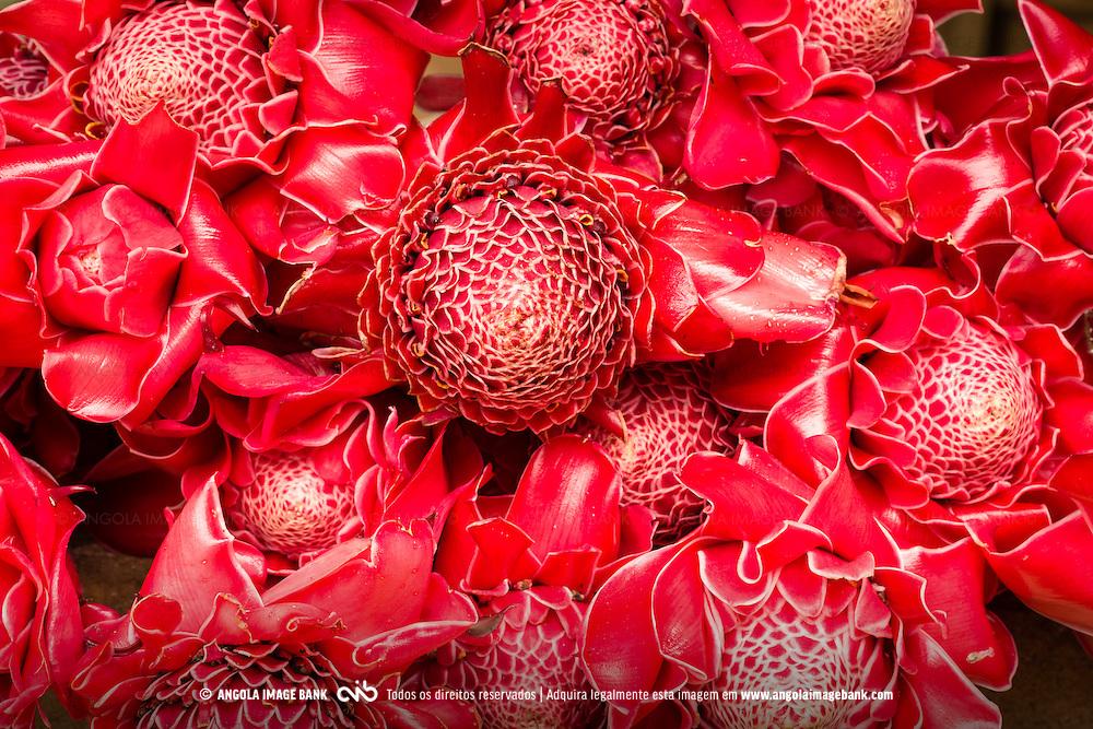 Magníficas rosas-de-porcelana (Etlingera elatior) na floresta da Kumbira, Kwanza Sul, Angola.