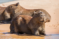 A group of capybara, Hydrochoerus hydrochaeris, resting on the beach in the morning sun. Cuiaba River, Brazil.