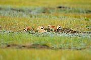 Protected species - the Black-tailed prairie dog (Cynomys ludovicianus) <br />Grasslands National Park<br />Saskatchewan<br />Canada