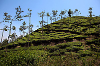 in Nelliyampaty Hills Tea Fields in mumnar Kerala state india