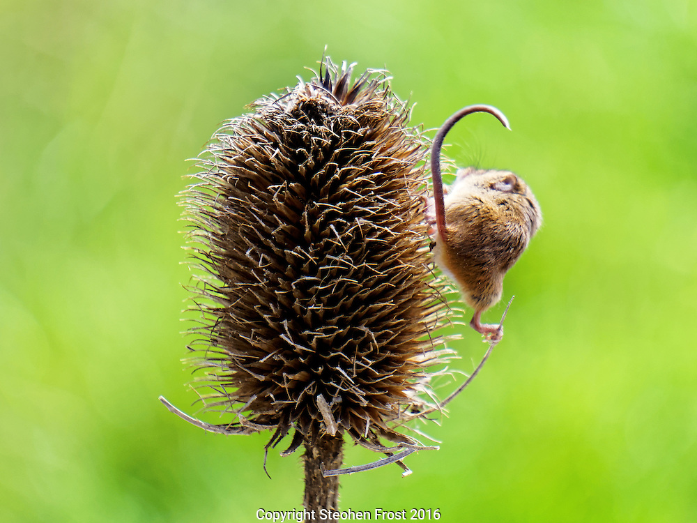 A tiny Eurasian Harvest Mouse (Micromys minutus) hangs onto a teasel plant in Sussex, England.