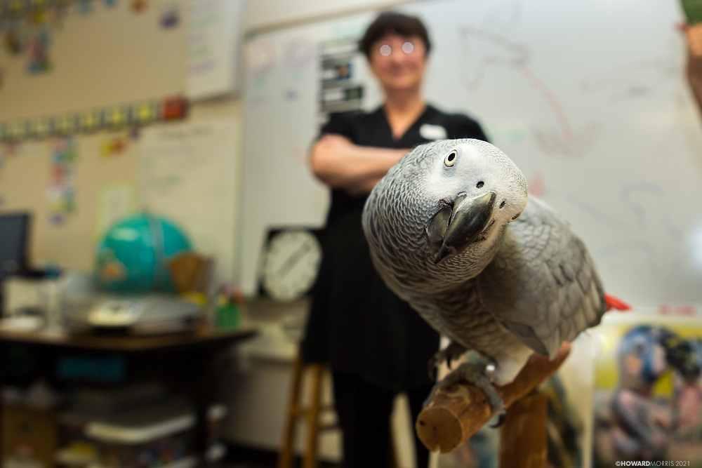 An Congo African Grey (Psittacus erithacus) look questioningly at the camera.