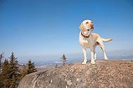 Yellow Labrador Retriever on St. Regis MT NY
