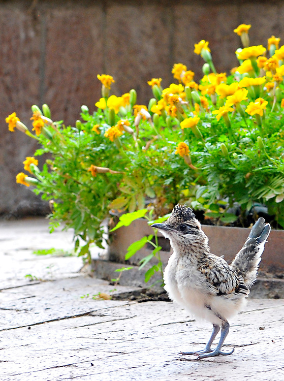 mp081911b/METRO/MorganPetroski/081911 -- A roadrunner chick at Albuquerque Publishing Company in Journal Center, Friday, August 19, 2011. (Morgan Petroski/Albuquerque Journal).