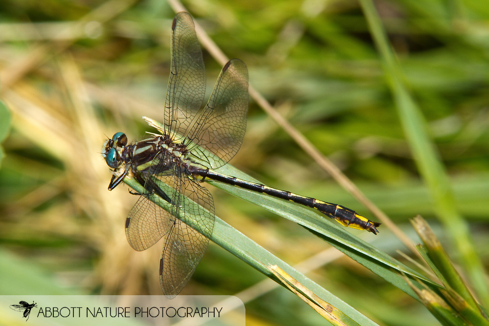 Lancet Clubtail (Phanogomphus exilis) - male<br /> PENNSYLVANIA: Forest Co.<br /> Buzzard Swamp in Allegheny National Forest<br /> 15.June.2010<br /> J.C. Abbott #2439