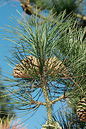 Ponderosa Pine (Western Yellow Pine) Pinus ponderosa (Pinaceae) HEIGHT to 40m (50m). Large, slender, conical pine with a sturdy, straight bole. BARK Scaly pinkish-brown. LEAVES Needles, to 30cm long, narrow (3mm) and stiffly curved with finely toothed edges and a sharp, pointed tip; clustered densely on shoots and persist for 3 years. REPRODUCTIVE PARTS Cones are ovoid, up to 15cm long and 5cm across, on short stalks or directly on twigs, sometimes leaving a few scales behind when they fall; solitary or in small clusters. Cone scales are oblong with swollen, exposed, ridged tips hiding 5cm-long, oval, winged seeds. STATUS AND DISTRIBUTION Native to W USA, planted here mostly for ornament.
