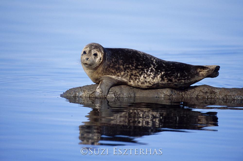 Harbor Seal<br /> Phoca vitulina<br /> Bull<br /> Elkhorn Slough, CA