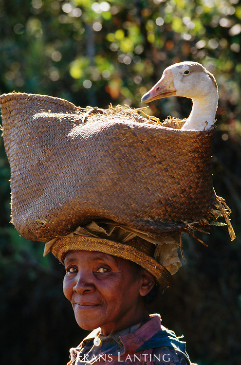 Woman taking goose to market, Central Madagascar