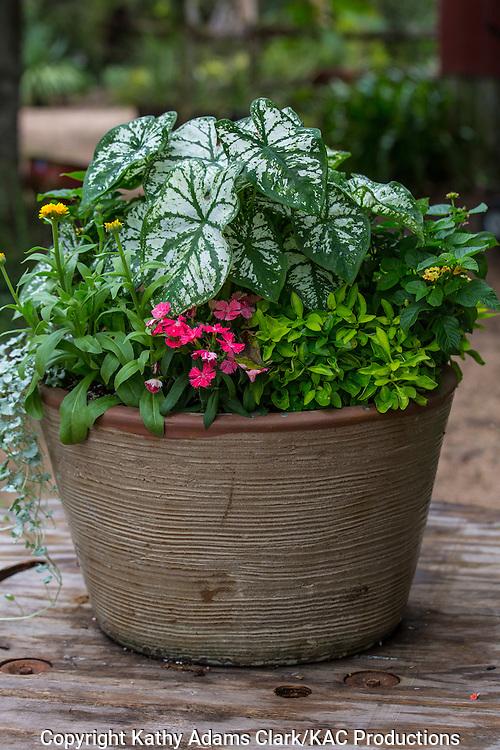 Container garden, Garden, calladium, vinca, Houston, late summer, Texas.