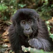 Mountain Gorilla, (Gorilla gorilla beringei) Portait of baby. Volcanoes National Park.Rwanda. Africa.