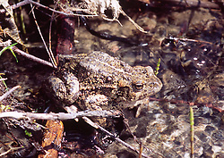 Western Toad (Bufo boreas), Mt. St. Helens National Volcanic Monument, Washington, US, March 2005
