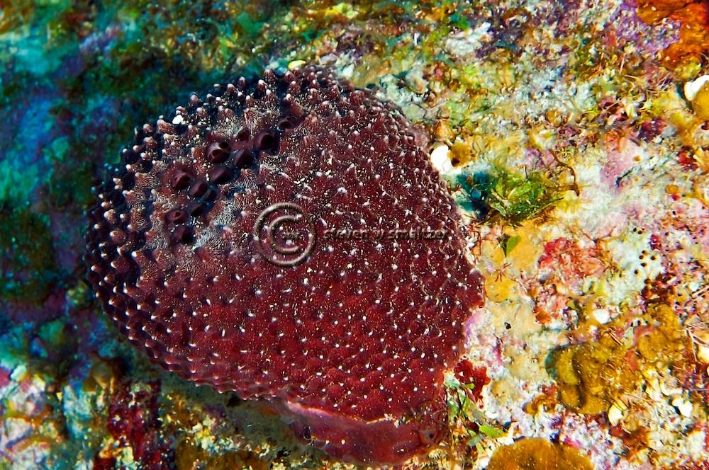 Black Ball Sponge, Ircinia strobilina, Grand Cayman
