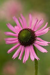 Echinacea Tennesseensis Rocky Top Hybrids