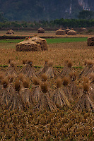 Bundles of straw from the rice fields are gathered together and dried in the fields after harvest.