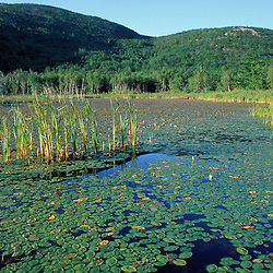 Acadia N.P., ME. Fragrant WaterLily Nymphaea odorata Beaver pond  Champlain Mtn.
