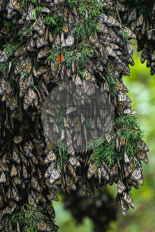 Monarch butterflies mass together on the branches of an Oyamel Fir tree to stay warm on a chilly day in their over-winter site in the Cerro Pelon Monarch Butterfly Preserve near Macheros, Michoacan, Mexico. The monarch butterfly migration is a phenomenon across North America, where the butterflies migrates each autumn to overwintering sites in Central Mexico.