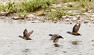 Harlequin Ducks (Histrionicus histrionicus) flying over the Nome River on the Seward Peninsula in Northwest Alaska. Spring. Afternoon.