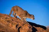 Mountain lion preparing to leap from sandstone [captive, controlled conditions] © 1999 David A. Ponton