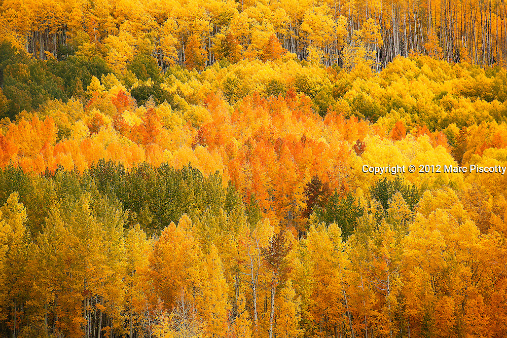 SHOT 9/26/12 1:33:42 PM - A stand of aspen trees change colors en masse as the fall foliage season comes to a peak in Colorado. The aspen trees were located in the Gunnison National Forest near Kebler Pass just outside of Crested Butte, Colo. Populus tremuloides, the Quaking Aspen or Trembling Aspen, is a deciduous tree native to cooler areas of North America and is generally found at 5,000-12,000 feet. The name references the quaking or trembling of the leaves that occurs in even a slight breeze due to the flattened petioles. It propagates itself by both seed and root sprouts, and extensive clonal colonies are common. Each colony is its own clone, and all trees in the clone have identical characteristics and share a root structure. (Photo by Marc Piscotty / © 2012)