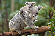Koala <br /> Phascolarctos cinereus<br /> Eight-month-old baby on mother's back<br /> Queensland, Australia<br /> *Captive