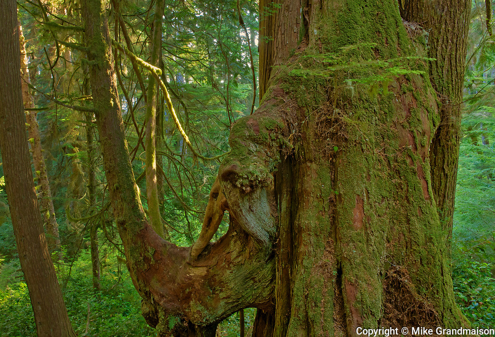 Temperate rain forest <br />Jordan River Regional Park<br />British Columbia<br />Canada
