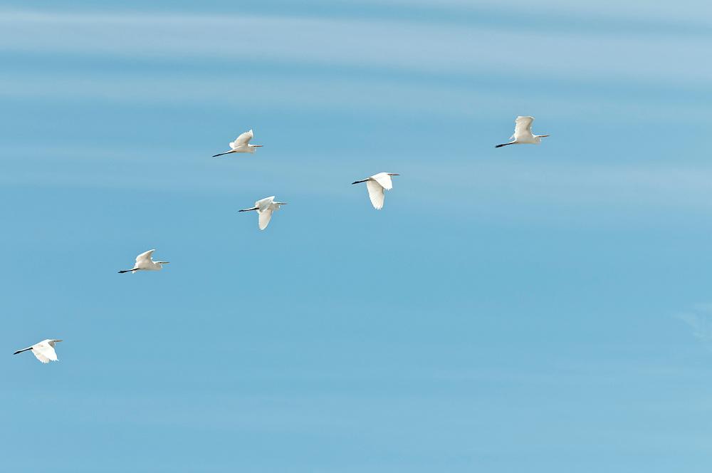 USA,Vereinigte Staaten von Amerika, Florida,  Sechs weiße große Fischreiher fliegen vor blauem Himmel der Küste Nordfloridas entlang |  USA ,United States,United States of America,Florida,  - six great egrets flying in front of a blue sky along the coast of northern Florida  |