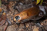 Death's-head Cockroach (Blaberus giganteus, Blaberidae)<br /> Yasuni National Park, Amazon Rainforest<br /> ECUADOR. South America<br /> HABITAT & RANGE: