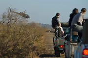 July 19, 2012: Capture Cape Buffalo Zukuza in Kruger National Park in South Africa
