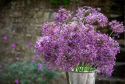 Allium cristophii AGM syn. Allium albopilosum - Star of Persia