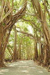 Selby Gardens Sarasota Florida Banyan tree roots