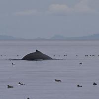 Minke whale Broughton Archipelago, British Columbia.