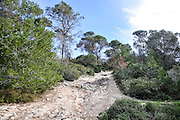 Pine tree forest. Photographed in the Carmel Mountain, Israel