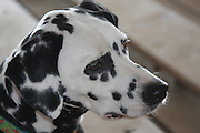 Intense look of a Dalmatian