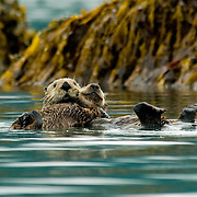 Sea Otter with pup on her back in Prince William Sound in Orca Inlet just outside of Cordova. Alaska