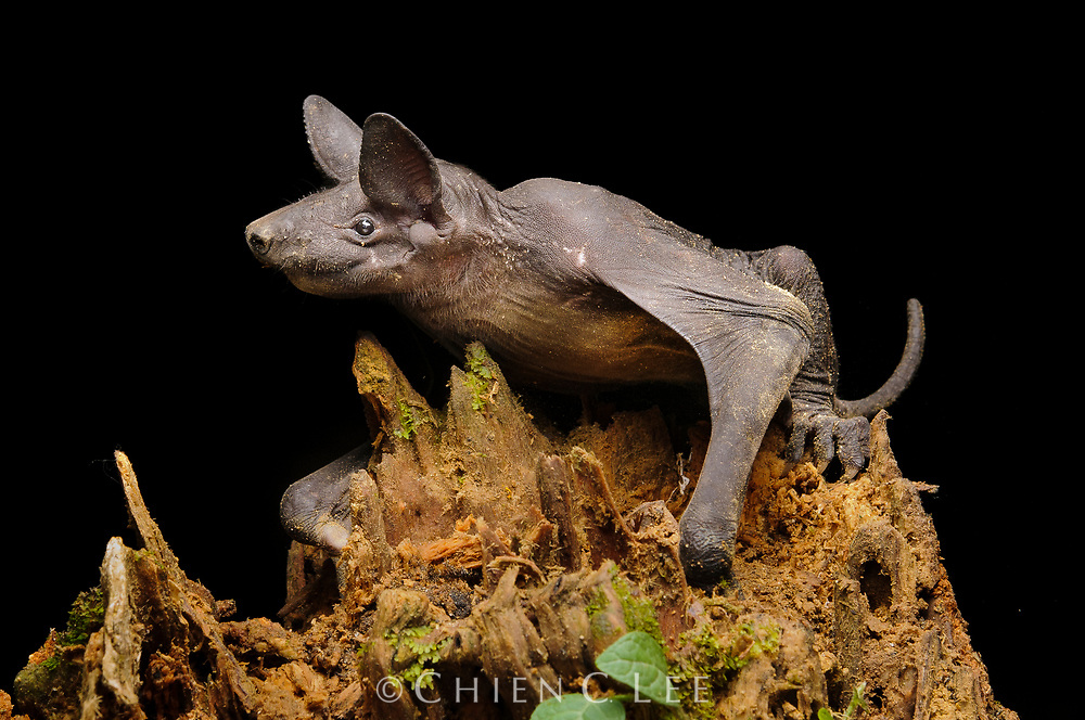 The bizzare Naked Bat (Cheiromeles torquatus) is the heaviest insectivorous bat in the world and, as its name suggests, is almost completely hairless. It often hunts insects above the forest canopy or along rivers, but also occasionally descends to the ground to catch crawling prey.