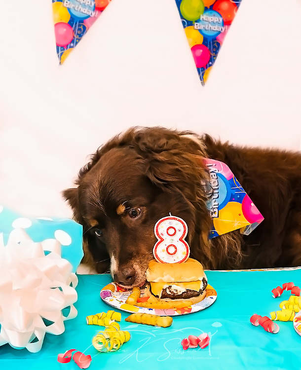 Cowboy, an eight-year-old red tri Australian Shepherd, eats French fries at his birthday party, April 4, 2016, in Coden, Alabama. (Photo by Carmen K. Sisson/Cloudybright)
