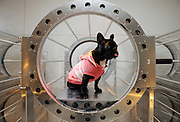 A pet dog enjoys a session in an oxygen capsule especially designed for pets at a salon in Tokyo, Japan.