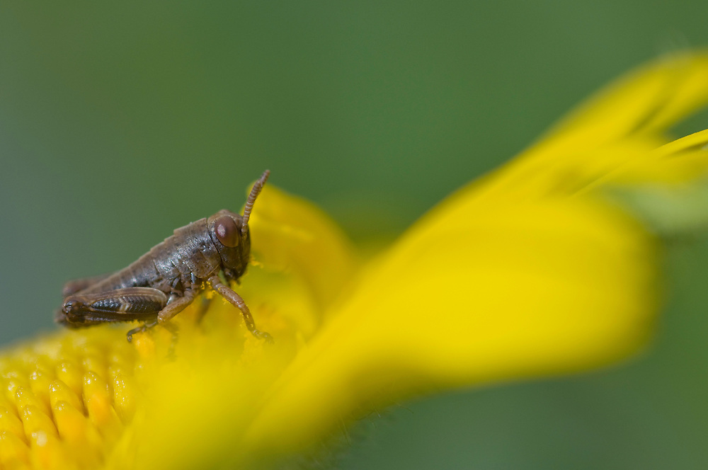 Grasshopper; Fam. Caelifera, area around Grauspitz, Lichtenstein