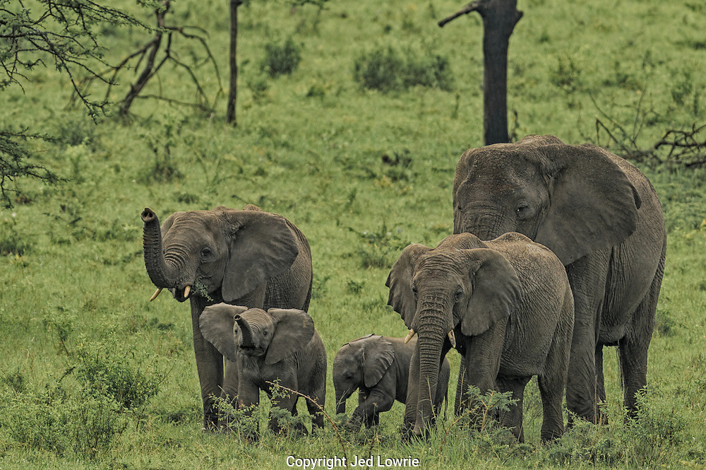 We followed this herd of elephants on our drive through the northern woodlands of the Serengeti. As soon as they were downwind the younger elephants appeared to smell something in the air that was unfamiliar. It's a good thing I showered that morning or I never would have gotten the shot.