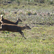 Axis porcinus, Indochinese Hog Deer, in Phu Khieo Wildlife Sanctuary, Thailand.