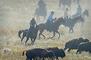 Photographs of the Buffalo round Up of 1,300 Buffalo
