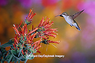 01162-091.14 Ruby-throated Hummingbird (Archilochus colubris) female on Hummingbird Plant (Dicliptera suberecta) Shelby Co.  IL