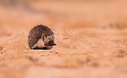 Desert Hedgehog (Paraechinus aethiopicus) Photographed in the negev desert, israel in March
