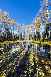 Aspens and autumn leaves floating in ephemeral pond, Vermejo Park Ranch, New Mexico, USA.