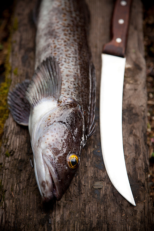 Still life of Ling Cod caught on the Oregon coast.